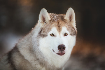 Close-up portrait of beautiful and happy siberian Husky dog sitting on the snow in the fairy winter forest at sunset