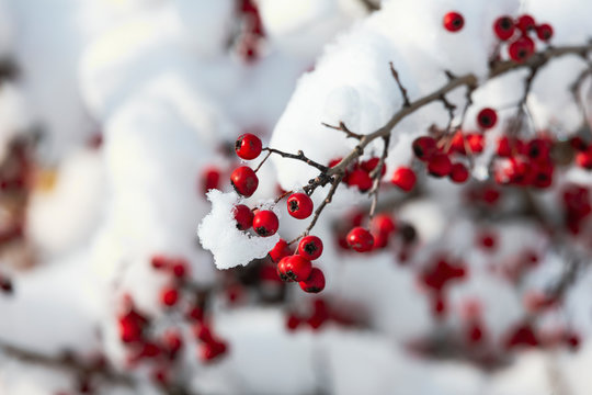 branch with Hawthorn Hawk with large red fruit covered with snow
