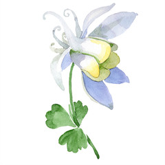 White aquilegia flower. Wild spring leaf wildflower isolated. Isolated aquilegia illustration element. Watercolor background illustration set.