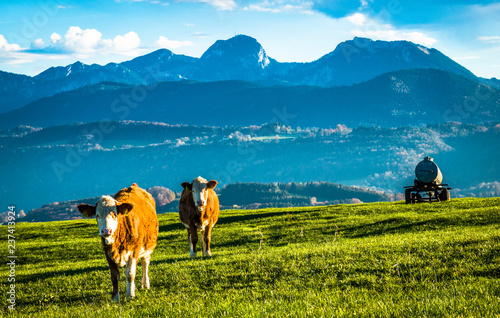 Wall mural cow at the alps