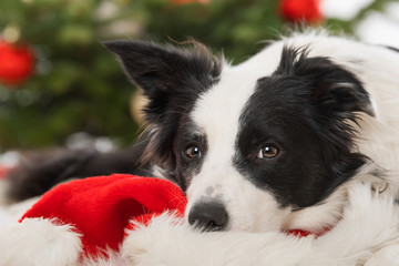 Young border collie dog lying on a santa hat with christmas tree in the background