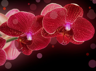 Orchid flowers on a black background