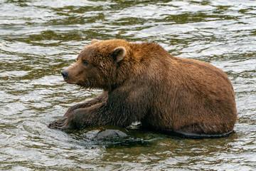 Brown Bear eating salmon on a rock in Alaska