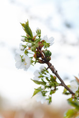 Close up apple blossom white flowers and blue sky spring background