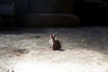 Rear view of a rabbit in a barn