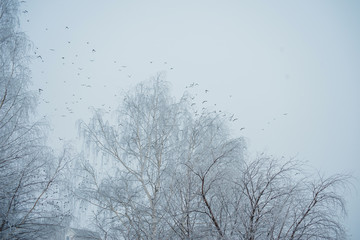 A flock of birds against the sky and bare tree branches.