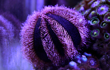 Blue Tuxedo Urchin (Mespilia globulus)