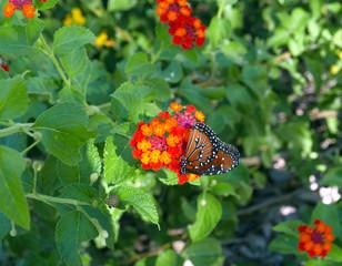 Queen butterfly on a lantana flower in Arizona