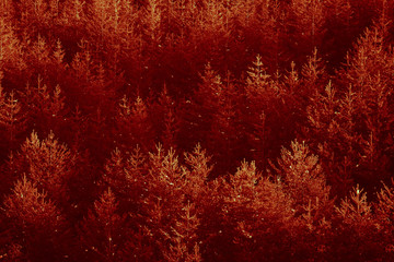 Deurstickers Rood paars Sun set red light on the pine forest. Yellowed woods backdrop.