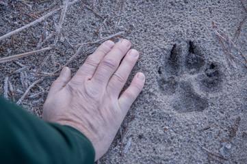 Trop wilka na leśnej drodze.