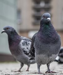 dwa gołębie patrzące wprost i stojące na ziemi