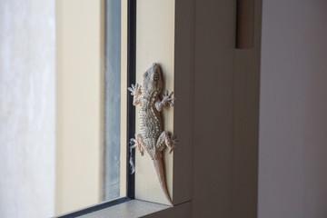 Lizard at a window. Lizard entered home. Wall mural