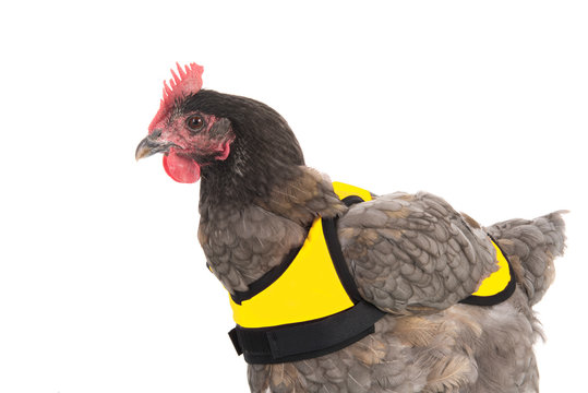 Chicken with yellow vest