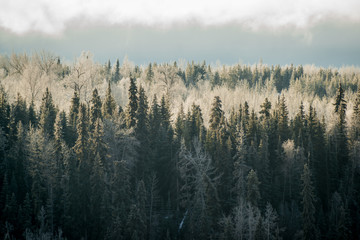 Frosted Canadian Forest under Foggy Sky