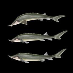 Sturgeon fish set