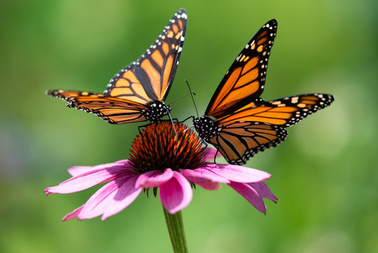 Two monarch butterflies feeding on a pink cone flower.