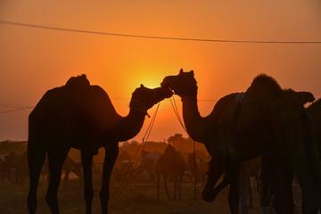 Photo sur Aluminium Chameau インドのラジャスタン州のプシュカル ラクダ祭り期間中 砂漠に佇むラクダと野良犬