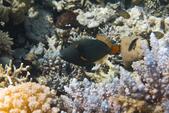 Orange-Lined Triggerfish on Coral Reef in Red Sea off Sharm el Sheikh, Egypt