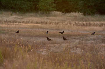 A flock  black crows in the meadow in the evening. Summer sunset. Bird watching.