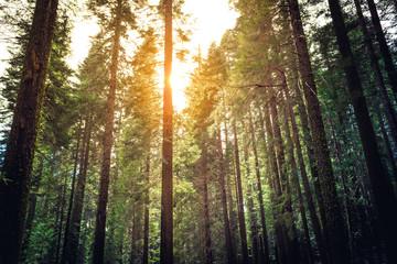Sunlight in the Sequoias, Mariposa Grove, Yosemite National Park, California