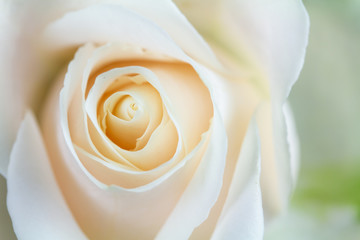 White Blooming Rose Macro Time Lapse with Soft Focus