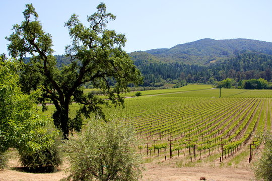 rows of vines at a vineyard in Sonoma California