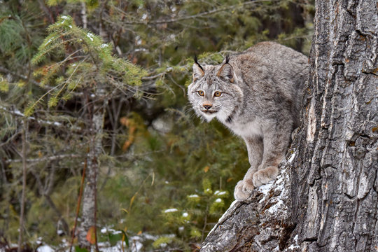 Canada Lynx perched on the side of a Tree