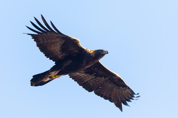 Golden eagle flying, seen in the wild in  North California