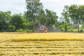 Combine harvester in action on rice field. Harvesting is the process of gathering a ripe crop