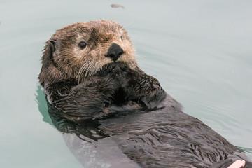 A wild sea otter in the waters of Seward, Alaska near Kenai Fjords National Park in the Kenai Peninsula.