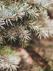 Coniferous spruce branches without snow, photographed close