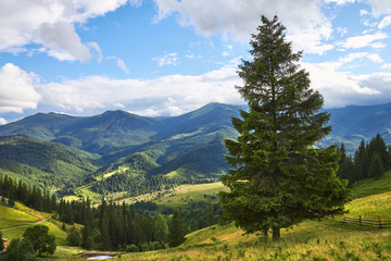 Carpathian green mountains. summer landscapes, large spruce