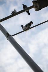 Pigeon on Lamp Post Street