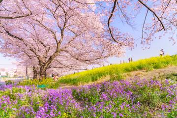 日本の春 埼玉県 熊谷桜堤の桜並木と菜の花