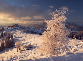 Frozen birch tree in Bukovina region. Chernivtsi oblast. Ukraine