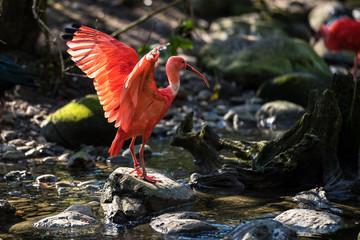 Fototapeta premium Szkarłatny Ibis - Czerwony Ibis - Eudocimus ruber