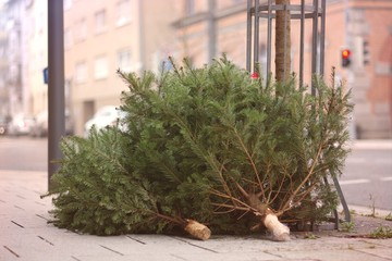 Discarded christmas trees after the Holiday on the sidewalk.