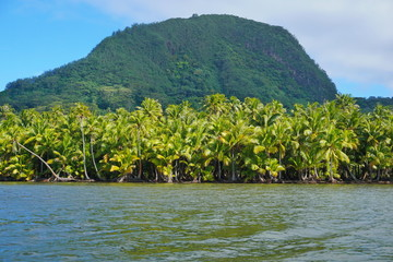 Lush coconut palm trees on the shore of the lake Fauna Nui with the mount Moua Tapu in background, Huahine island, French Polynesia, south Pacific