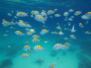A school of fish sergeant major, Abudefduf saxatilis, underwater in the Caribbean sea