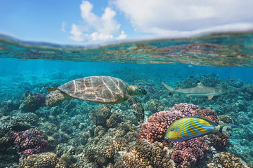Deurstickers Onder water a green turtle on a coral reef with fish underwater and blue sky with cloud, split view above and below water surface, Bora Bora, French Polynesia, south Pacific ocean