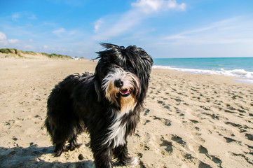Black and white bearded collie dog on sand beach