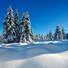 Fir Forest in Winter Landscape covered by fresh snow, sunny blue sky