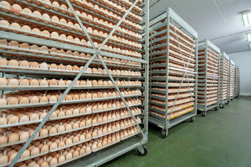 Egg Factory with Quality Control on egg production line from breeders in Hatchery Unit.