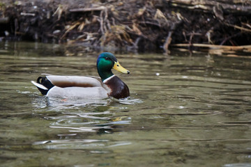 Male mallard duck floating on the lake in Poland..