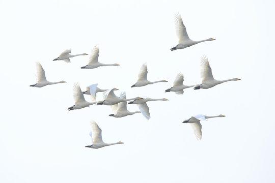 群れで飛ぶ白鳥 Swans flying in flocks