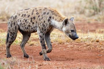 Poster Hyène Hyena walking near Satara restcamp in Kruger National Park in South Africa