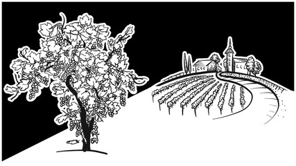 Vine tree and vineyard drawing