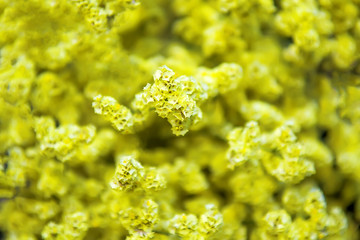 Many yellow flowers for background. Selective focus