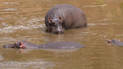 Nilpferde am Wasserloch