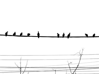 Silhouette three pigeons are resting on electric wire with dry tree